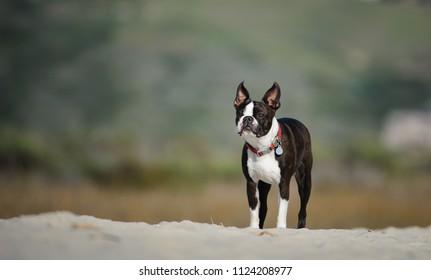 Boston Terrier dog outdoor portrait at beach