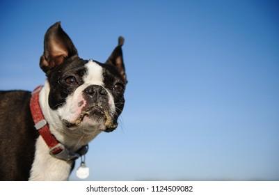 Boston Terrier dog outdoor portrait against blue sky