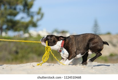 Boston Terrier dog outdoor portrait at beach pulling on yellow rope