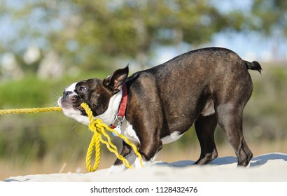 Boston Terrier dog outdoor portrait at beach tugging on yellow rope