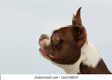 Boston Terrier dog outdoor portrait head shot sideview