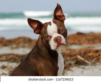 Boston Terrier dog outdoor portrait by ocean