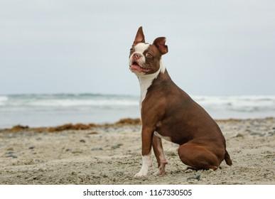 Boston Terrier dog outdoor portrait sitting on beach