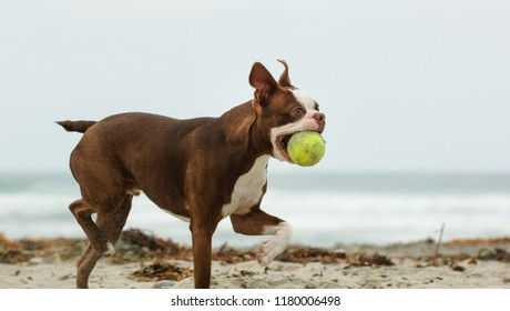 Boston Terrier dog outdoor portrait walking on beach with ball