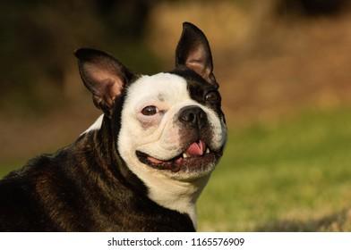 Boston Terrier dog portrait in grass