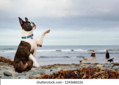 Boston Terrier dog sitting on beach with paw up