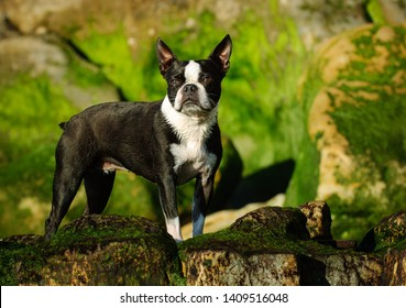Boston Terrier dog standing on rocks with green moss