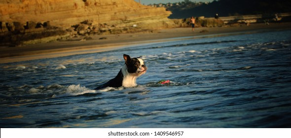 Boston Terrier dog swimming out in ocean water