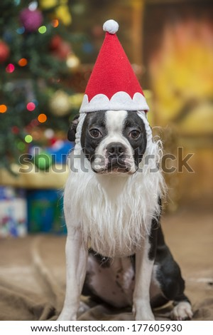 dd3b6fada0250 Boston Terrier Dog Wearing Santa Hat Stock Photo (Edit Now ...