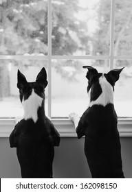 Boston Terrier Dogs at Window