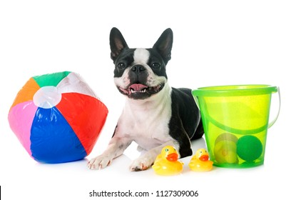 boston terrier in front of white background