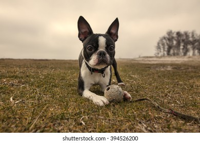 Boston terrier lies on grass with a toy/Boston terrier puppy