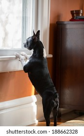 A Boston Terrier looking out the window