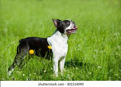 Boston terrier in a meadow