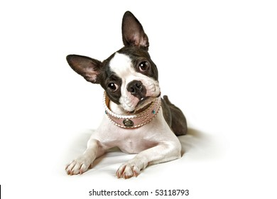 boston terrier on a white background