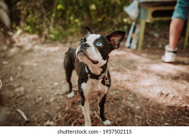 Boston terrier on the Woods hetherocromia