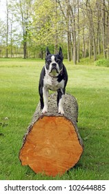 Boston Terrier plays on a large cut log in the back yard