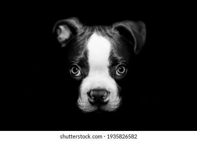 Boston terrier puppy 4 months old