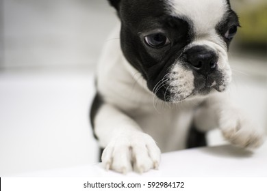 Boston Terrier Puppy Bath