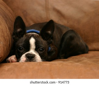 Boston Terrier puppy with ears standing up