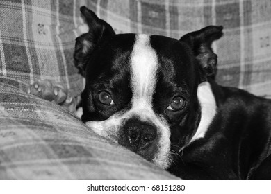 Boston terrier puppy resting his head on the arm of a recliner.