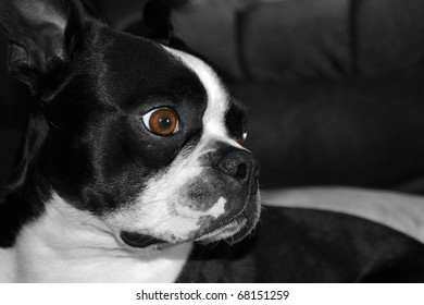 Boston terrier puppy resting on a couch.