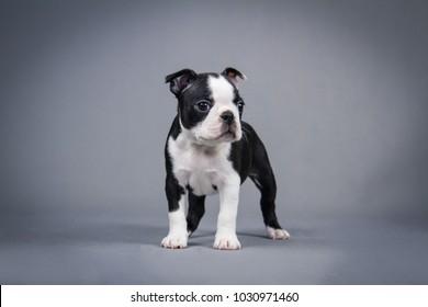 Boston terrier puppy in the studio posing. So cute terrier.