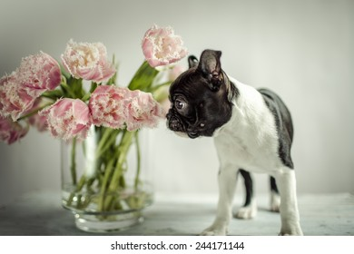 Boston Terrier Puppy and Tulip Flowers