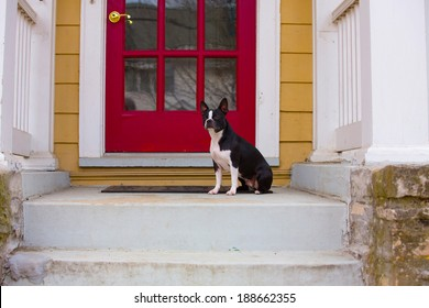 A Boston Terrier sitting on the front porch waiting