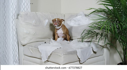 Boston Terrier sitting on a torn up white couch