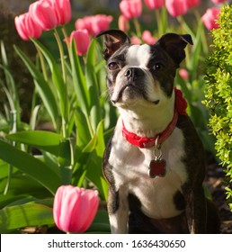 A boston terrier sitting in a spring garden.