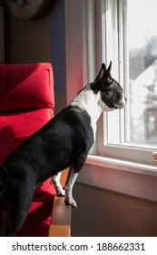 A Boston Terrier standing on a chair looking out a window