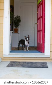 A Boston Terrier standing and waiting inside of a house at the front door