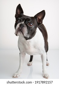Boston Terrier Studio Portrait on White Background