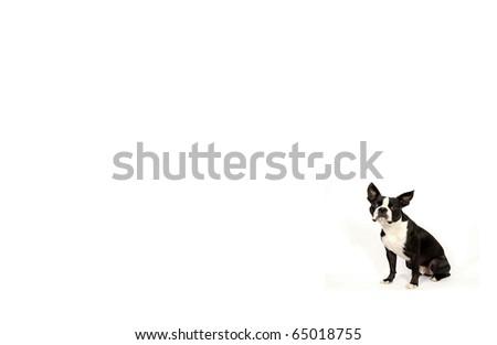 Boston Terrier Wallpaper Stock Photo Edit Now 65018755