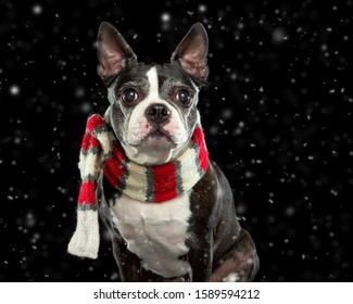 Boston terrier in winter scarf with snow