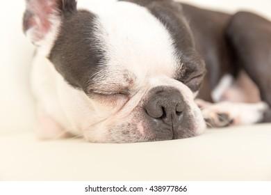 Boston terrier/Pet/Dog