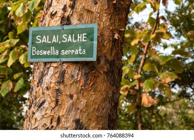 Boswellia serrata tree with plate with its name