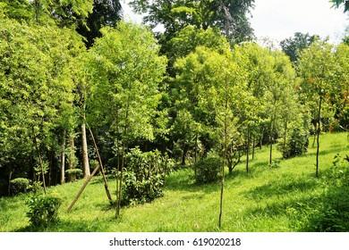 Bot. Name: Santalum album L. Family: Santalaceae Com. Name: Sandal Wood Uses: Burning sensation, jaundice, cough, bronchitis,  fever, inflammation, malaria.