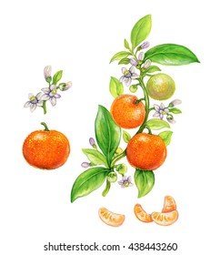 botanic realistic illustration of tangerine (Citrus reticulata) with fruits, flowers and leaves