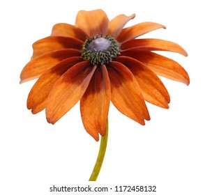 A botanic rudbeckia flowers (brown rudbeckia)