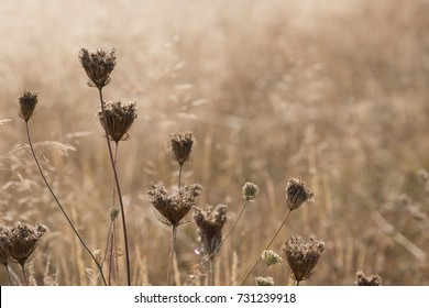 Botanical background of Queen Anne's Lace (Daucus) gone to seed in a pale misty beige field