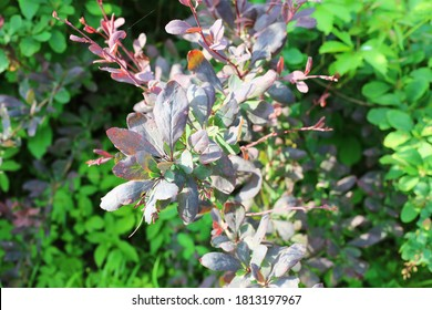 Botanical background. Selective focus barberry branch with red leaves. Berrieson wallpaper from barberry leaves. Close up of barberry thunbergii or red barberry. Summer sunny time.