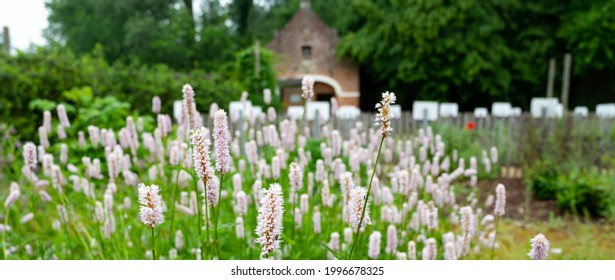 Botanical collection, young green leaves and pink flowers of medicinal plants Bistorta officinalis or Persicaria bistorta), known as bistort, snakeroot, snake-root, snakeweed and Easter-ledges.