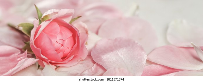 Botanical concept, invitation card - Soft focus, abstract floral background, bud of pink rose flower. Macro flowers backdrop for holiday brand design