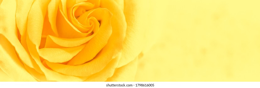Botanical concept, wedding invitation card - Soft focus, abstract floral background, yellow rose flower. Macro flowers backdrop for holiday brand design