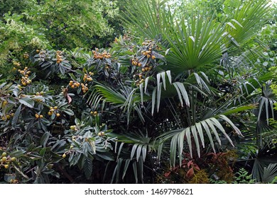 Botanical Garden in Batumi, Georgia. Tree loquat with fruits. Green trees and palm tree in the park.