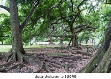 """Botanical Garden of Peradeniya, Kandy,""""Royal Botanical Gardens, asias most beautiful botanical Garden"""