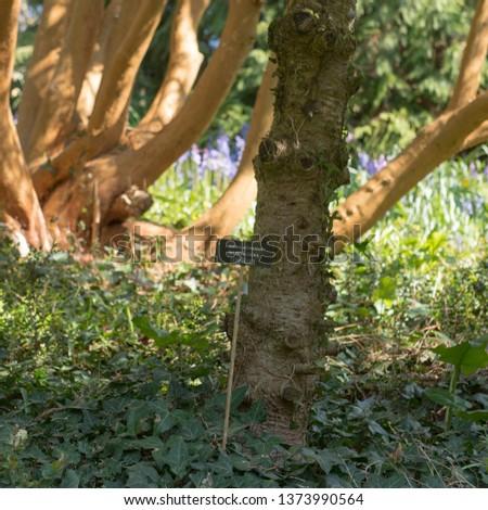 Botanical Identification Label Abies Koreana Silberlocke Stock Photo