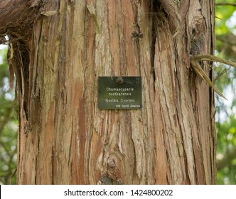 Botanical Identification Label for a Chamaecyparis nootkatensis (Nootka Cedar) Native to NW North America Attached to its Tree Trunk in a Garden in Rural Somerset, England, UK